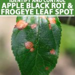 Close up of frogeye leaf spot on an apple leaf.
