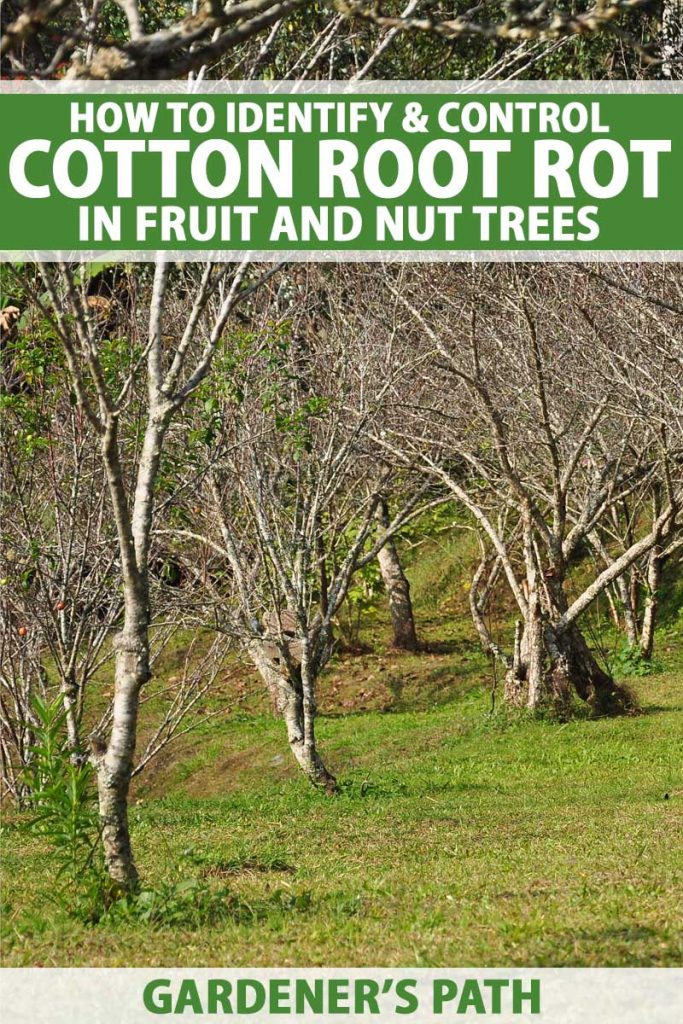 Dead fruit trees in an orchard setting.