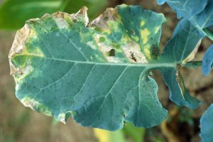 How to Identify and Control Turnip Black Rot
