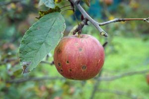 How to Identify and Prevent Apple Cork Spot