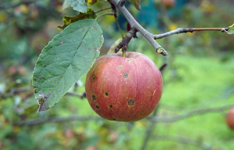 An apple hanging from a tree with signs of cork spot.