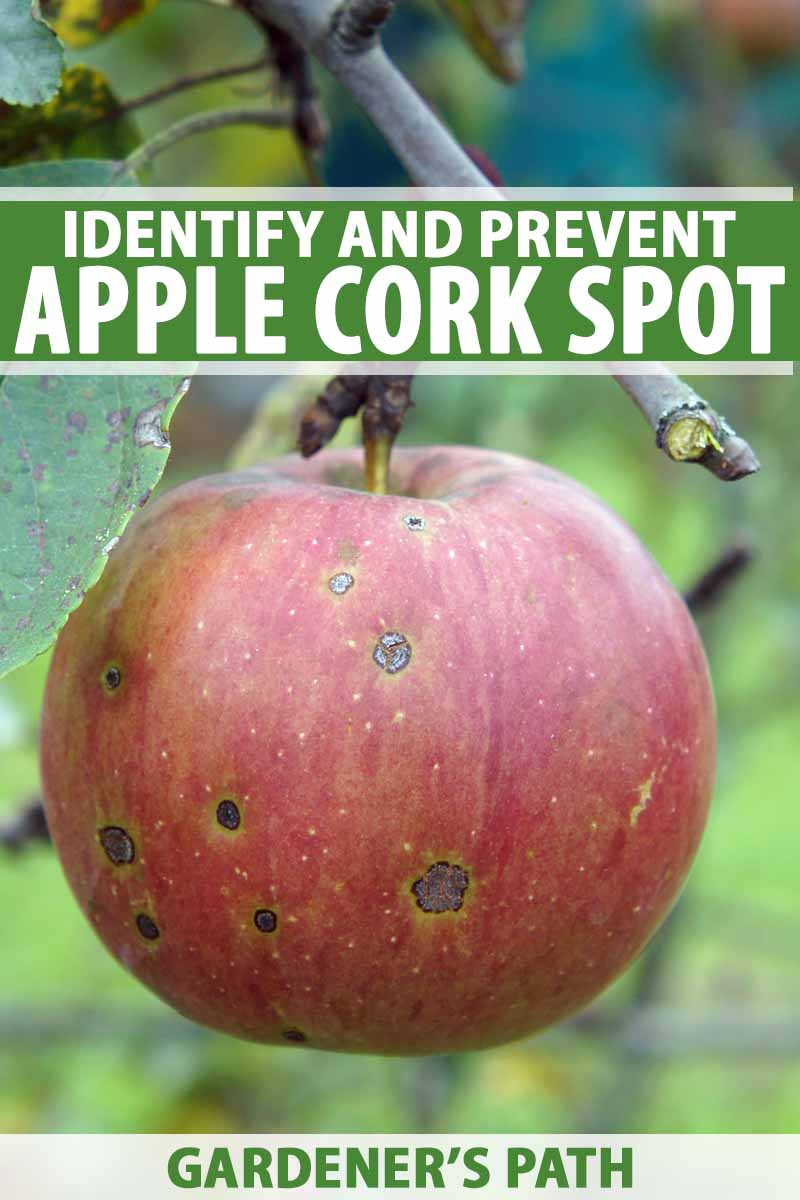 Close up of an apple hanging from the branch showing signs of cork rot.