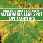 Closeup image of a turnip leaf showing yellow and dark colored spots that have concentric rings consisten with Alternaria Leaf Spot infection.