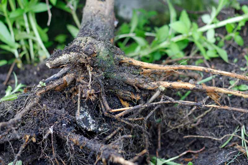 Tree roots infected with root rot.