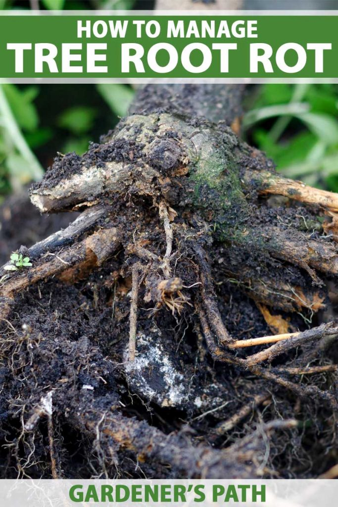 Close up of a the root ball of a small tree suffering from root rot.