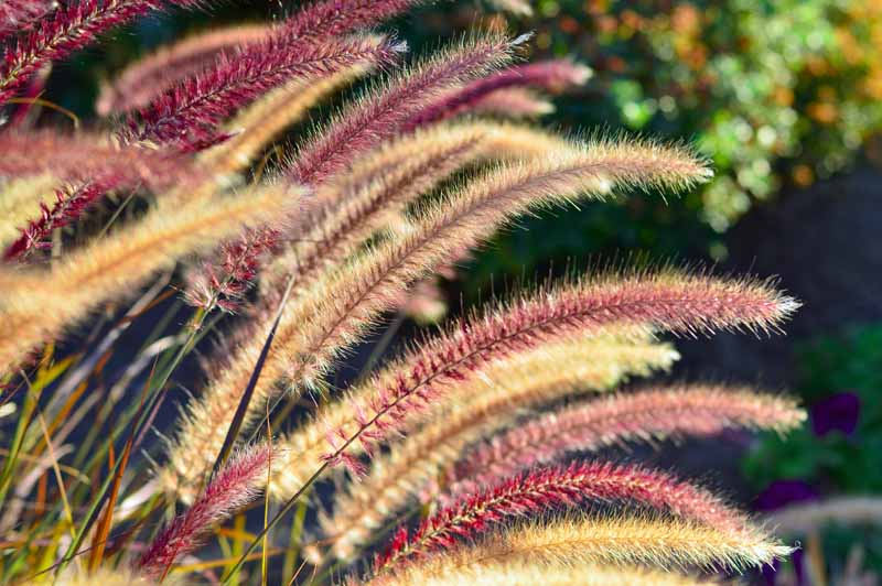 Purple and golden seeds of purple fountain grass in the fall.