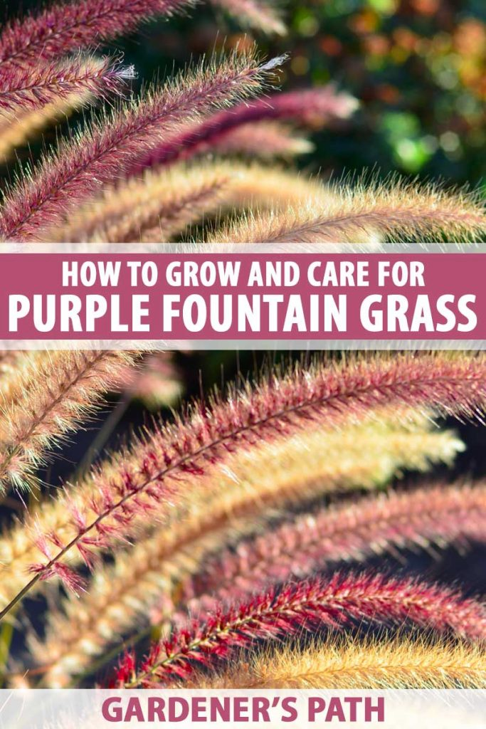 Close up of purple fountain grass in seed.