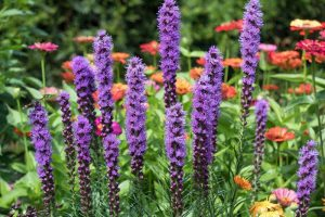 How to Plant and Grow Blazing Star