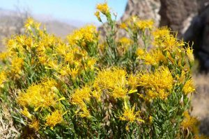 How to Grow Turpentine Bush: the Desert Dazzler