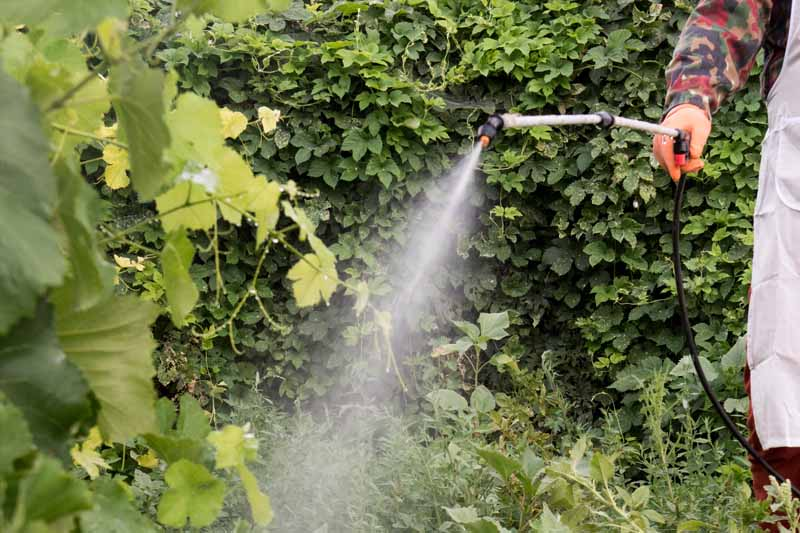 A pump sprayer is being used in a backyard setting to apply Bacillus thuringiensis (Bt) to control insect pests.