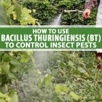 A gardener uses a backpack sprayer to apply Bacillus thuringiensis (BT) to vegetable plants.