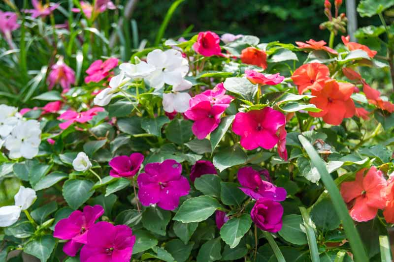 Purple,red, and white blooms of Impatiens (Impatiens walleriana) growing in an annual flower garden.