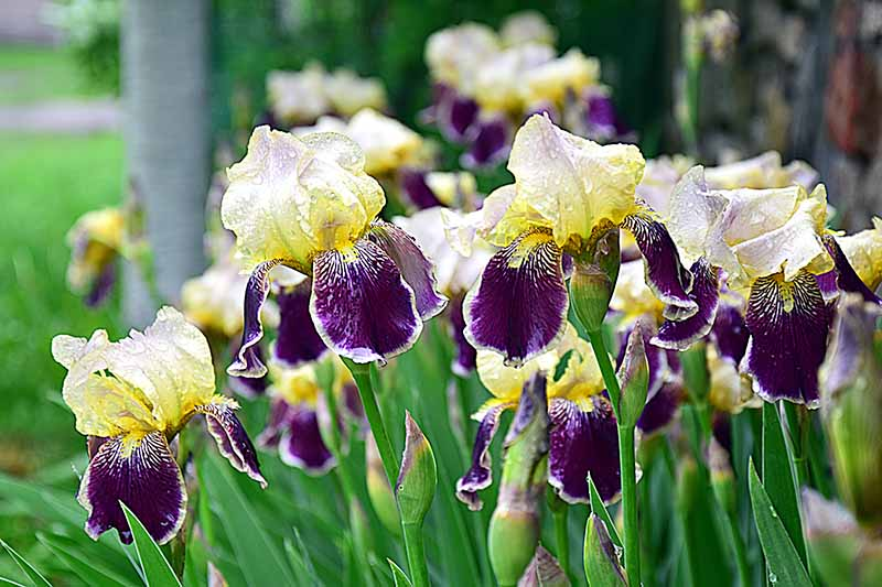Pale yellow and purple irises with green leaves.