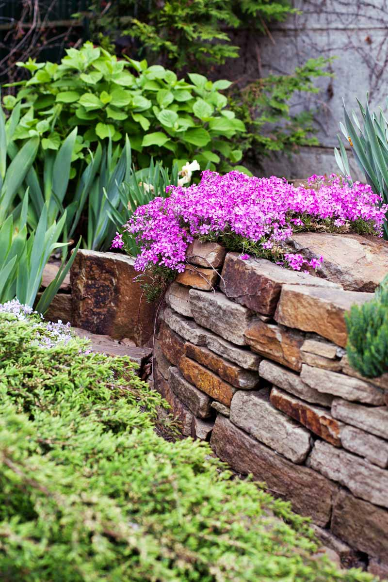 A brown rock wall planted with pink creeping phlox and green foliage at the top, and lime green leafy groundcover on the level below, against a white wall.