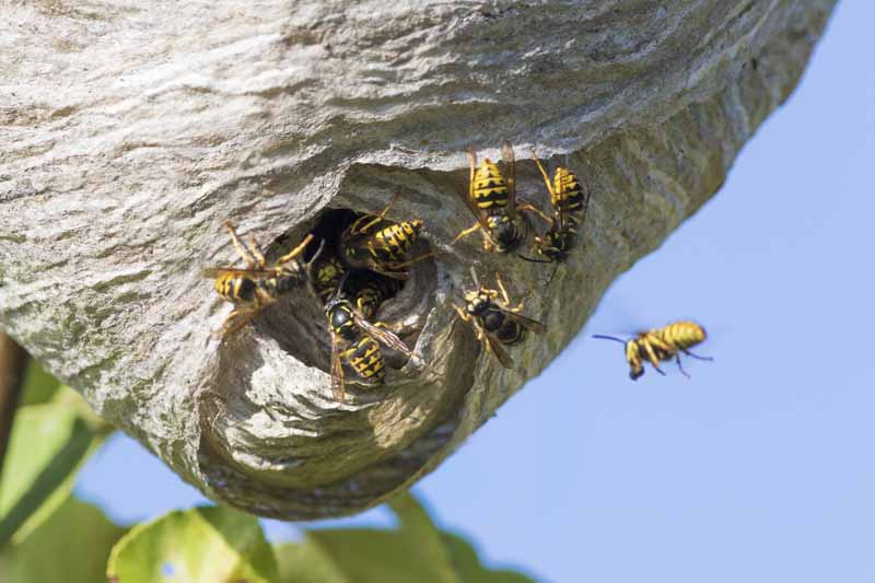 The opening of a large, paper type yellowjacket nest with workers flying in and out.