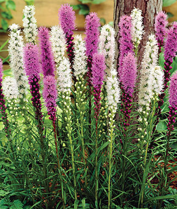 A mix of white and medium pink liatris flowers.