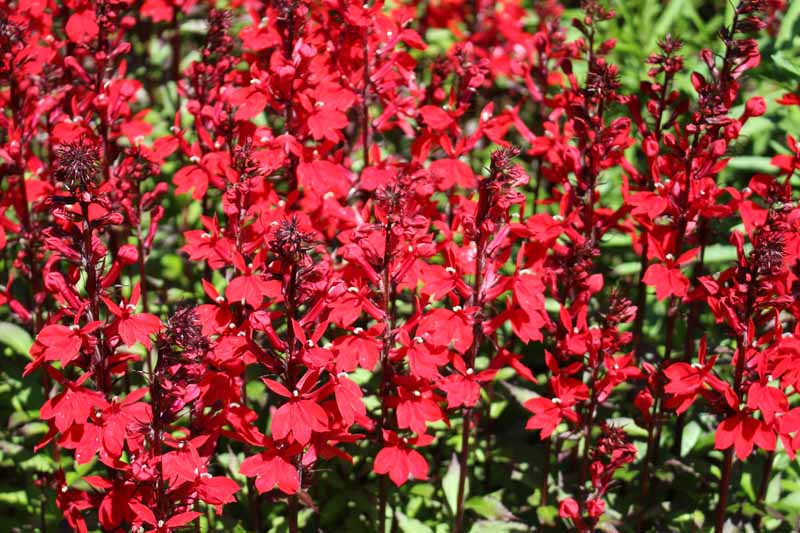 Red blooms of the Cardinal flower in a bright display of autumn color.