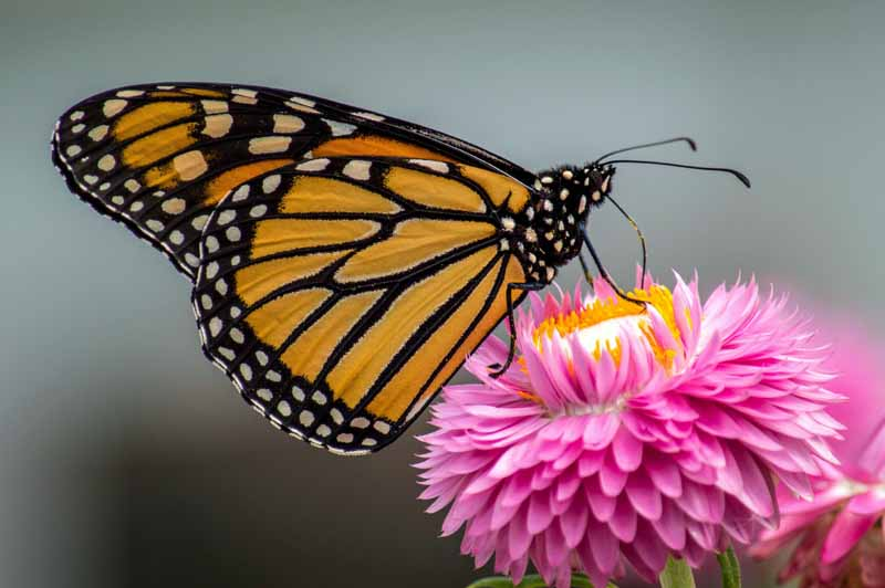 Monarch Butterfly on pink Strawflower. Close up.