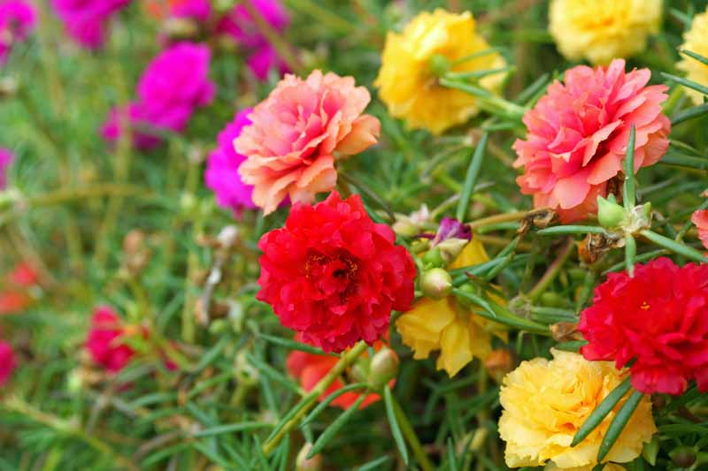 Red, salmon, and yellow colored blooms of Moss Rose (Portulaca grandiflora).