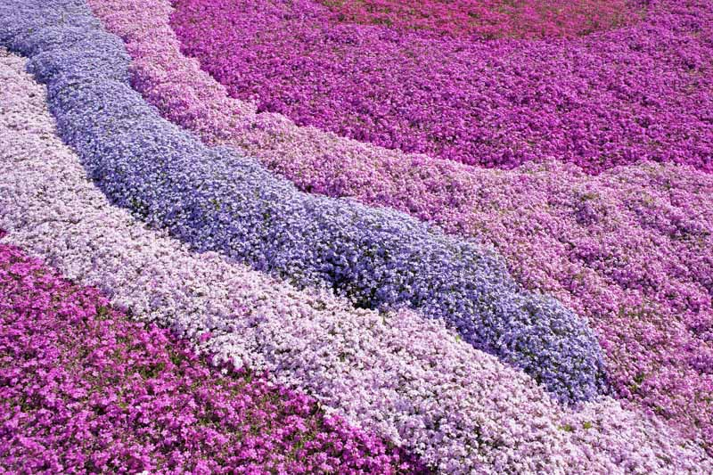 Horizontal image of stripes of pink and purple creeping phlox flowers, completely filling the frame.