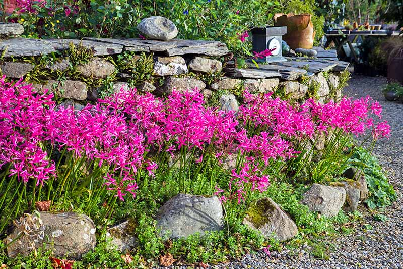 Pink nerine flowers at the top of long stalks with bright green foliage, growing against a rock wall next to a path.