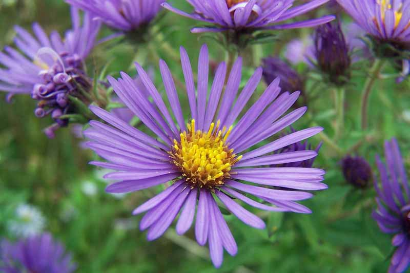 Purple New England Aster (Symphyotrichum novae-angliae) in bloom. Close up.