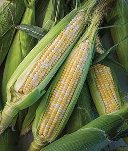 Nirvana Hybrid Sweet Corn with their husks partially stripped.