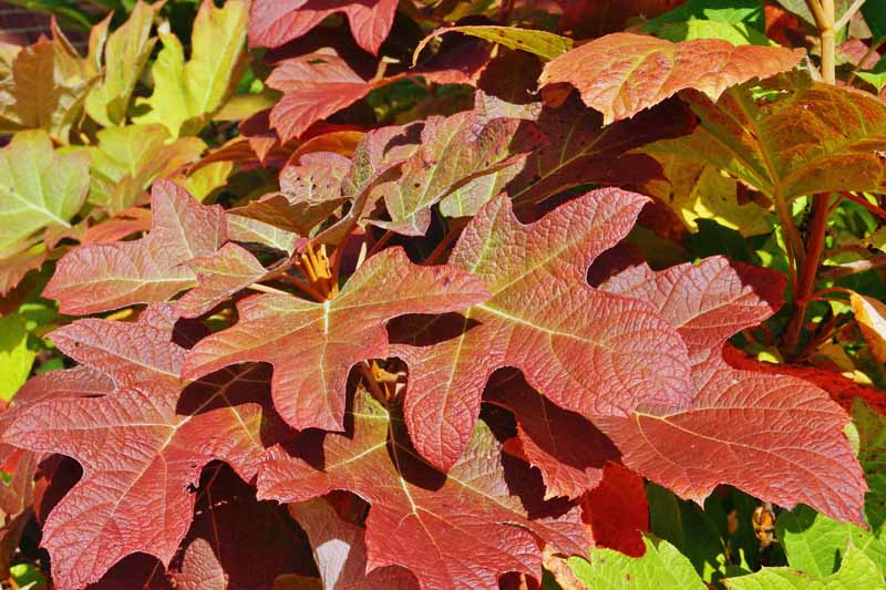 Red leaves of the oakleaf hydrangea (hortensia quercifolia) in the fall.