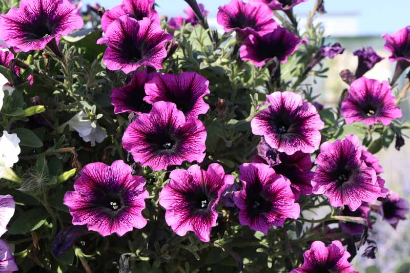 Purple blooms of Petunia (Petunia x hybrida).
