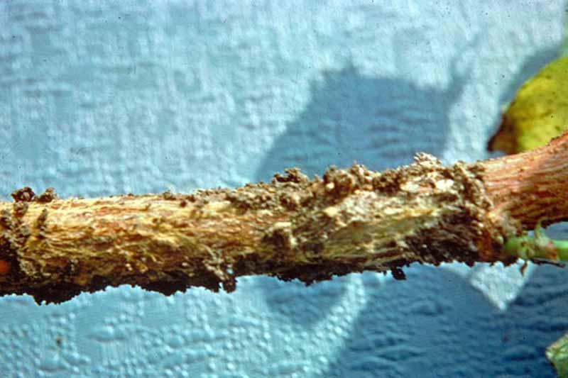 Phymatotrichum root rot (Phymatotrichopsis omnivora)
