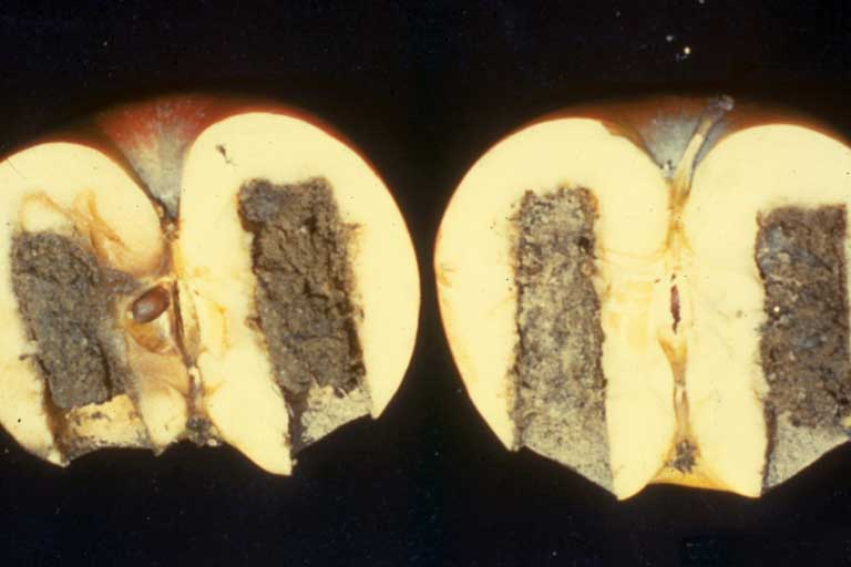 Phytophthora in apple fruit. A sliced open apple showing the infected interios. On a black background.
