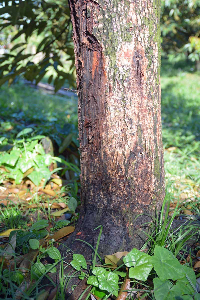 The base of a fruit tree suffering from crown root or a Phytophthora infection.