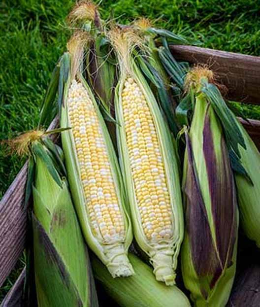 Picasso Hybrid Sweet Corn in their husks.