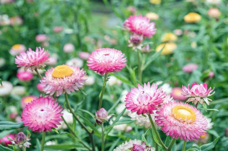 A cluster of pink strawflowers in a mass planting.