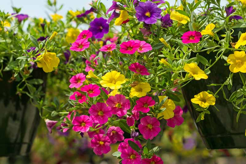 Pink, Yellow and Purple Million Bells - Trailing Petunias (Calibrachoa) in a hanging basket. Close up.