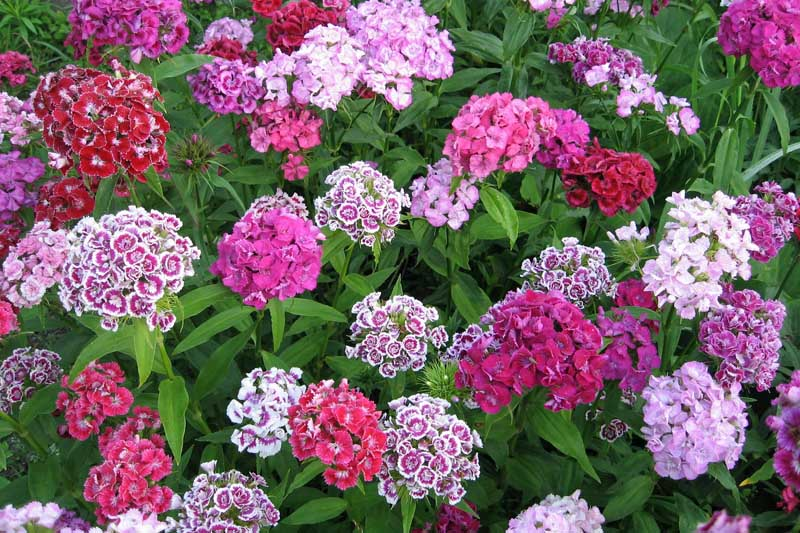 Purple, pink, and white flowers of Dianthus barbatus with differeing shapes and color combinations.