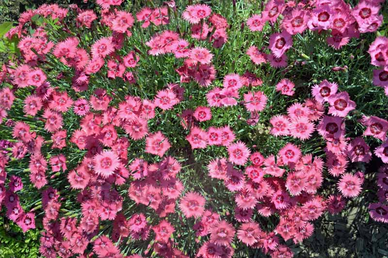 Pinkish Red Dianthus plumarius flowers in bloom in a landscaped yard.