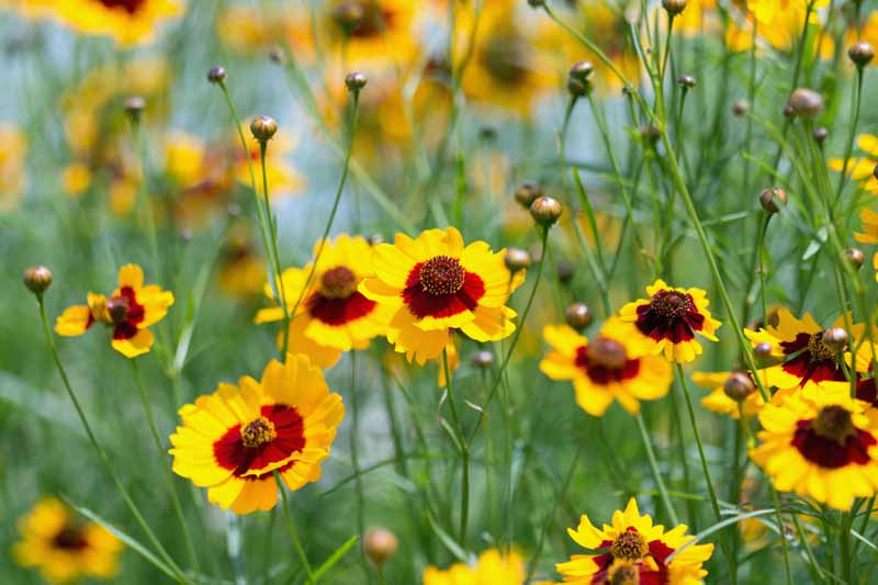 Yellow Plains Coreopsis (Coreopsis tinctoria) with dark red centers in bloom.