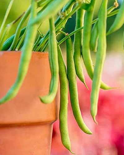 'Porch Pick' green beans growing on a green stem, in a terra cotta pot, with a mottled pink background.