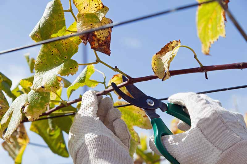 Human hands hold a hand pruner to removed branches of a tree infected with cotton root rot.