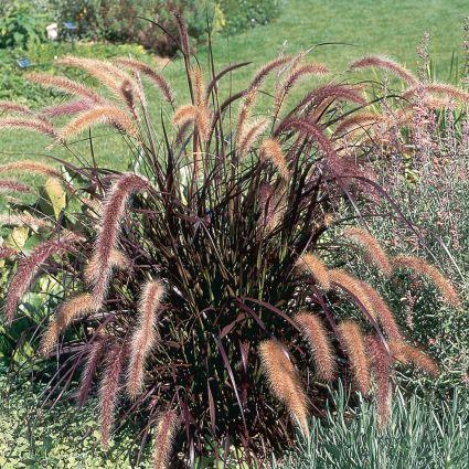 Purple fountain grass grown as a specimen.