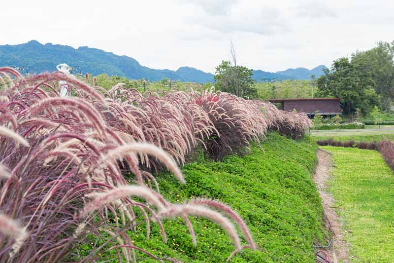 How To Plant Grow And Care For Purple Fountain Grass