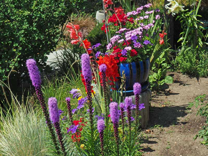 Purple blazing star (Liatris spicata) mixed with red flowers in a cottage garden located in Vancouver.
