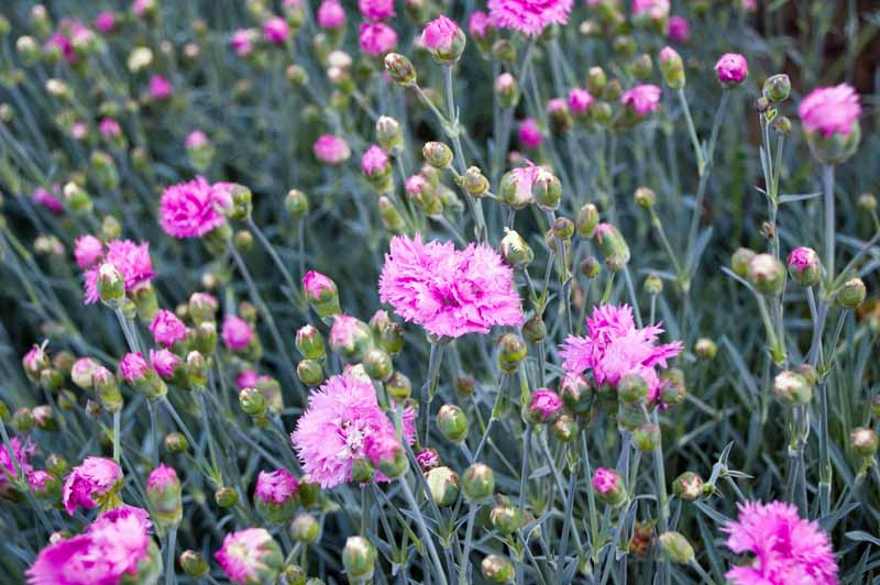 A cluster of purple pink Dianthus plumarius flowers in a garden bed.