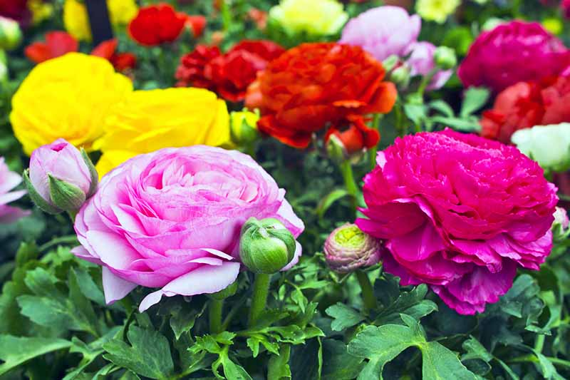 Red, yellow, pink, and magenta ranunculus flowers with green leaves.