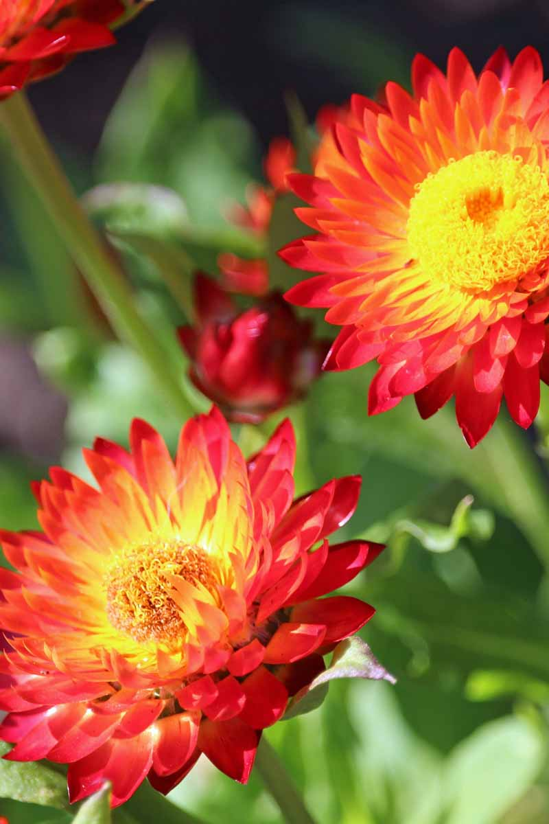 Close up of two red everlasting strawflower blooms.