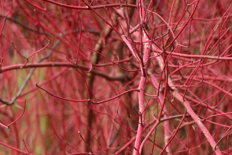 The bare branches of the Red Osier Dogwood (Cornus sericea).