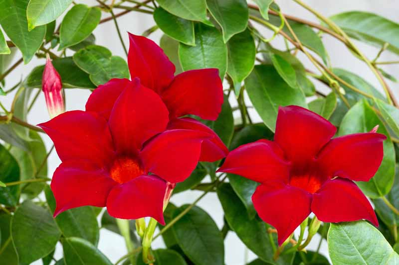 A variety of Rocktrumpet (Mandevilla) in bloom. Close up.
