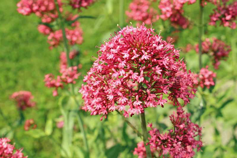 Red Valerian (Centranthus ruber) flowers in bloom.