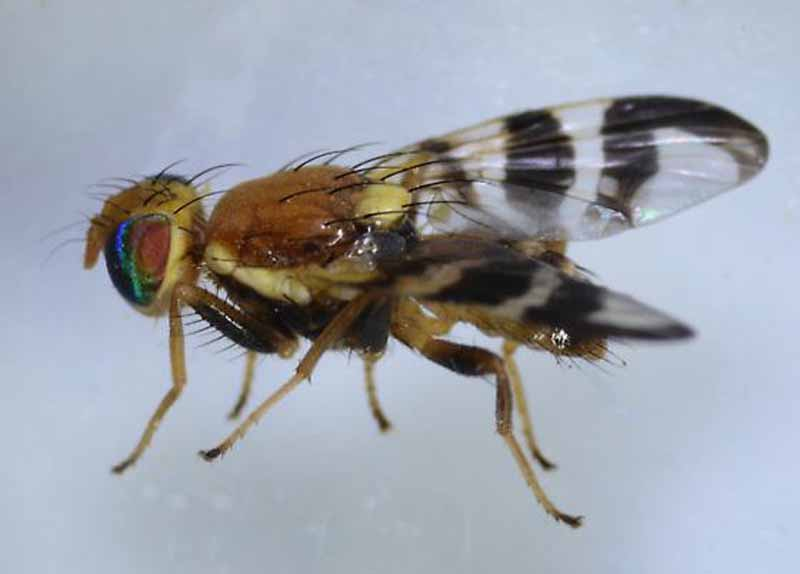 Side profile view of Rhagoletis completa - Walnut Husk Fly on a gray background.